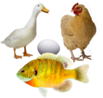 Chickens, Ducks & Fish