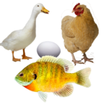 Chickens, Ducks & Fish